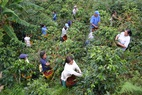 Small farmers in coffee plantation